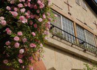 新緑の季節、バラが満開です。